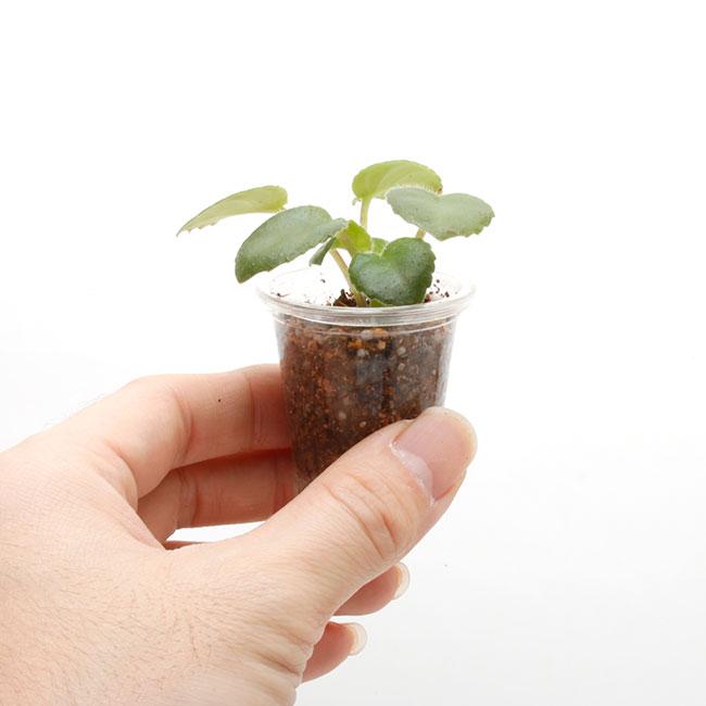 Primulina tamina [ プリムリナ・タミナ ] 1ポット 【 ビバリウム、パルダリウムに使いやすい植物 】