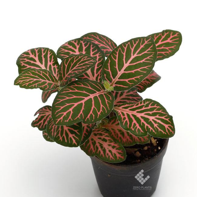"""フィットニア """" ピンクタイガー """" 1ポット 【 ビバリウム、パルダリウムに使いやすい植物 】"""