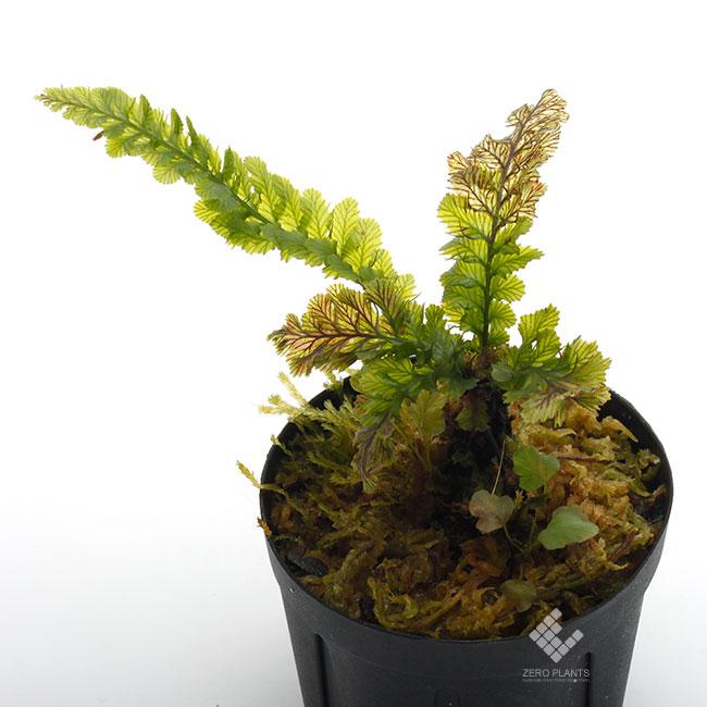 Cephalomanes javanicum [ セファロマネス・ジャバニカム] 【 PN190612-09 】