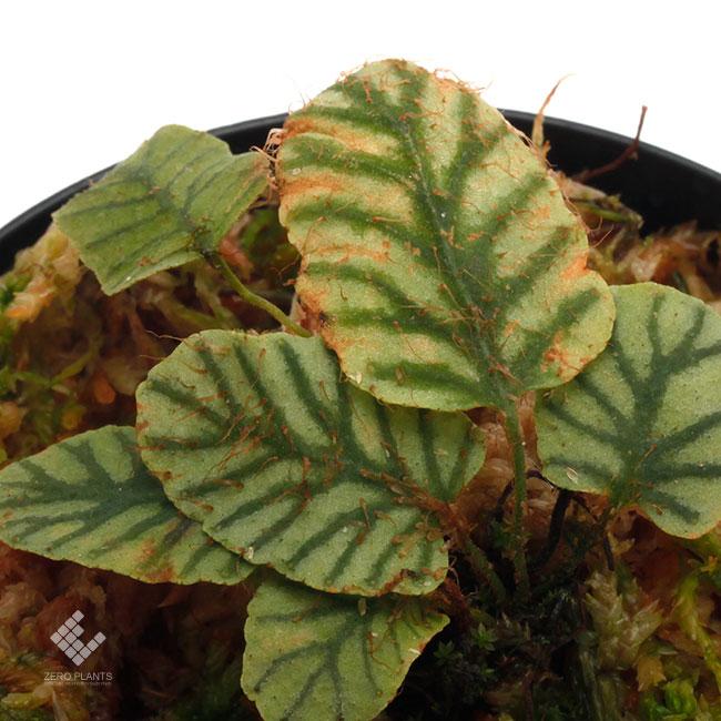 "Elaphoglossum sp. "" STRIPED "" [ エラフォグロッサム sp. "" ストライプ "" ] 【 PN190411-12 】"