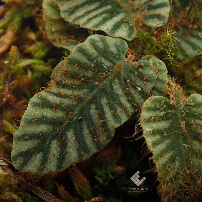 "Elaphoglossum sp. "" STRIPED "" [ エラフォグロッサム sp. "" ストライプ "" ] 【 PN190411-13 】"