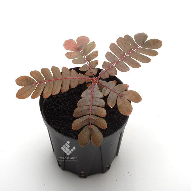 """Biophytum sp. """" Ecuador / Type-002 """" [ ビオフィツムsp. """"エクアドル"""" ]  1ポット 【 レディッシュブラウンが美しいエクアドル産の謎ビオフィツム 】"""