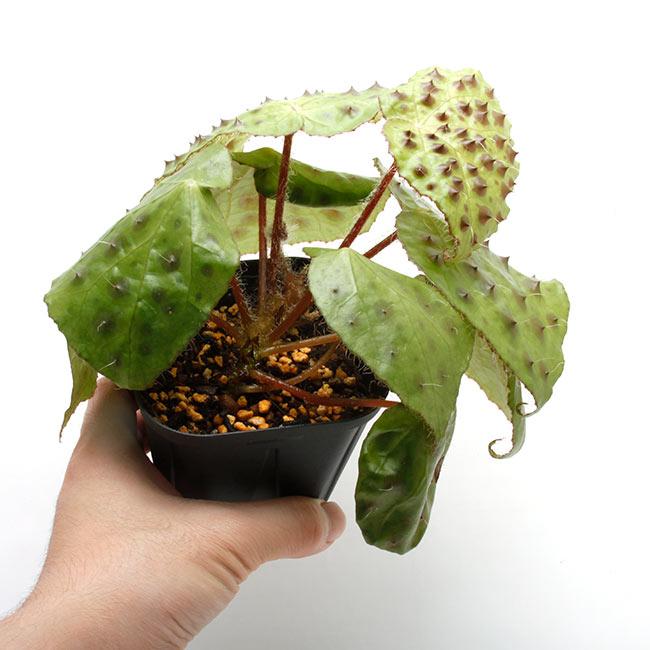 Begonia melanobullata [ ベゴニア・メラノブラータ ] 【 PN210512-03 】 【 ブラックの無数のスタッズが異彩を放つ原種ベゴニア 】