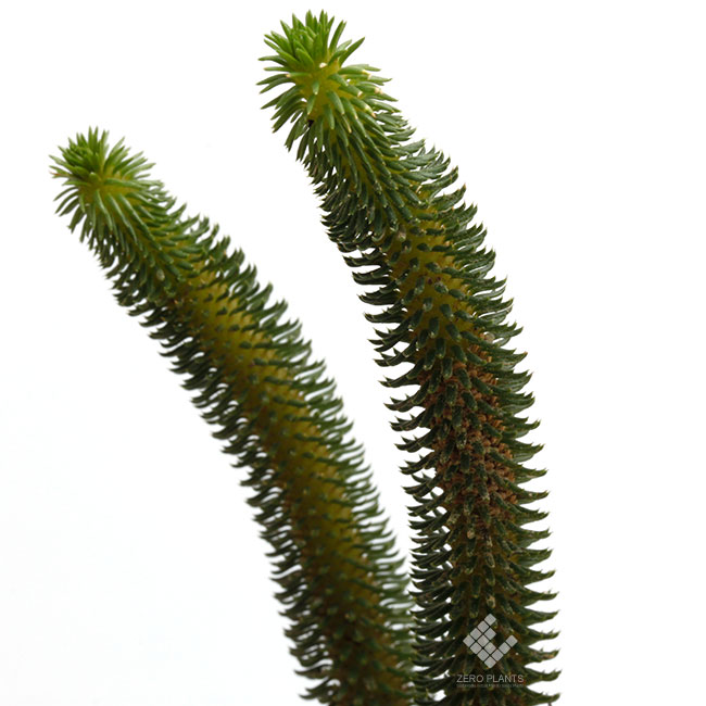 Huperzia sp. ( Urostachys hystrix ? ) [ ウロスタキス・ヒストリクス? ] 【 PN181117-11 】