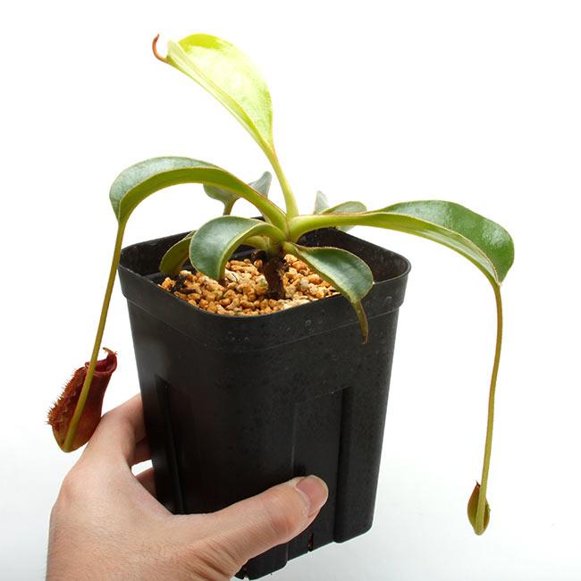 """Nepenthes lowii """" Gunung Trusmadi """"  [ ネペンテス・ローウィー ] 【 PN210512-04 】"""