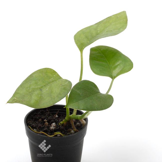 """スキンダプサス sp. """" ムナ島 """" 1ポット 【 ビバリウム、パルダリウムに使いやすい植物 】"""