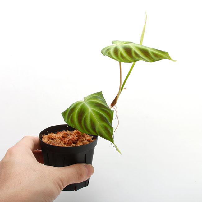 Philodendron verrucosum [ フィロデンドロン・ベルコサーム ] 1ポット