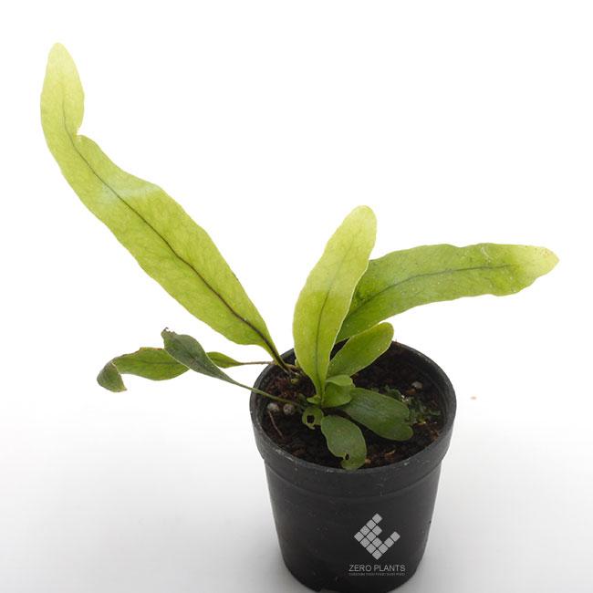 ミクロソリウム・ディベリシフォリウム 1ポット 【 ビバリウム、パルダリウムに使いやすい植物 】