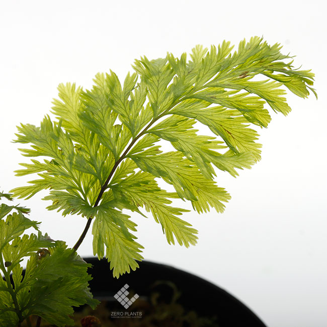 "Abrodictyum sp. "" New Caledonia "" [ アブロディクタム sp. ] 【 PN190612-10 】"