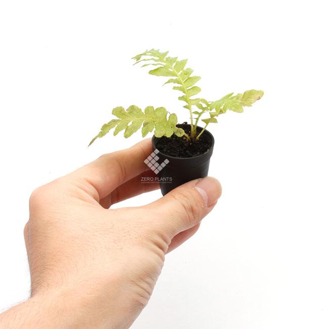 ブレクナム・シルバーレディ 1ポット 【 ビバリウム、パルダリウムに使いやすい植物 】