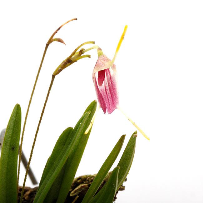Trisetella triglochin [ トリセテラ・トリグロキン ] 【 PN210512-08 】