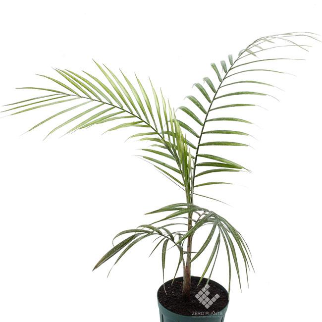 ブラジルヒメヤシ 1ポット 【 ビバリウム、パルダリウムに使いやすい植物 】