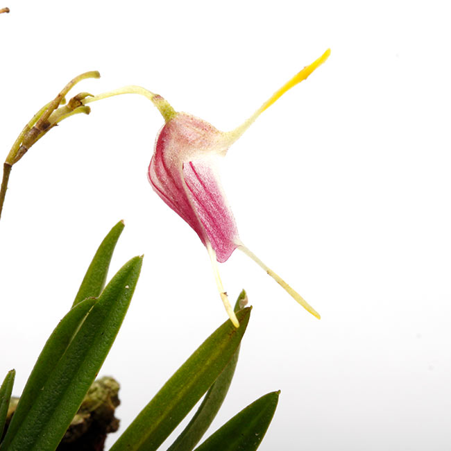 Trisetella triglochin [ トリセテラ・トリグロキン ] 【 PN210512-09 】