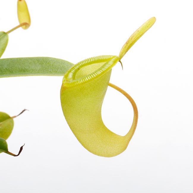 Nepenthes dubia / Gunung Malea, North Sumatra  [ ネペンテス・デュビア ] 【 PN210222-15 】