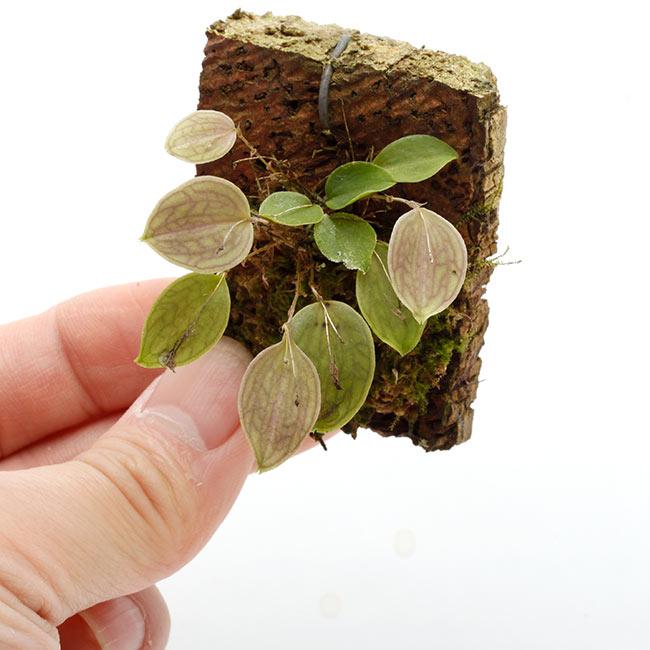 Lepanthes Sherry Bridygham ( L. calodictyon × L. telipogoniflora ) [ レパンテス・シェリーブリッガム ] 【 PN210512-10 】
