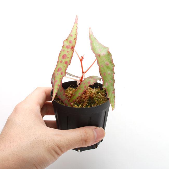 Begonia amphioxus [ ベゴニア・アンフィオクサス ] 【 PN200722-09 】