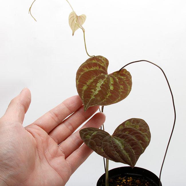 Dioscorea dodecaneura  [ ディオスコレア・ドデカネウラ ] 【 PN200318-01 】