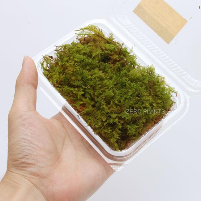 シノブゴケ 3パック 【 ビバリウム、パルダリウムに使いやすい植物 】