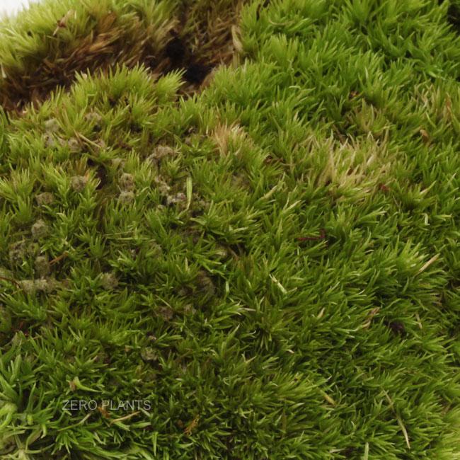 ホソバオキナゴケ 1パック 【 ビバリウム、パルダリウムに使いやすい植物 】