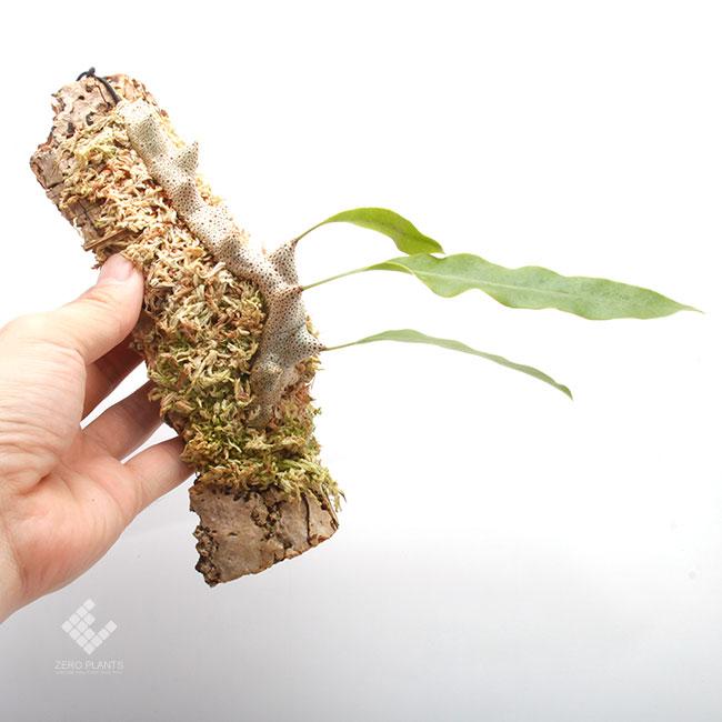 Lecanopteris sinuosa [ レカノプテリス・シヌオサ ] 【 PN190808-02 】