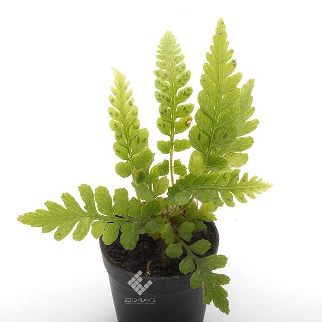 コシケシダ 1ポット 【 ビバリウム、パルダリウムに使いやすい植物 】