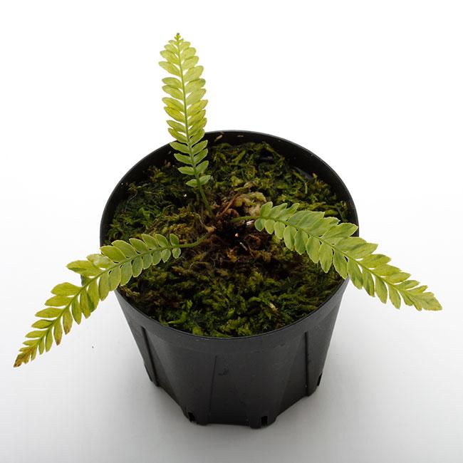 Blechnum obtusatum var. francii TypeB  [ ブレクナム・オブツサタム var. フランシー TypeB / 水上株 ] 【 PN200318-03 】