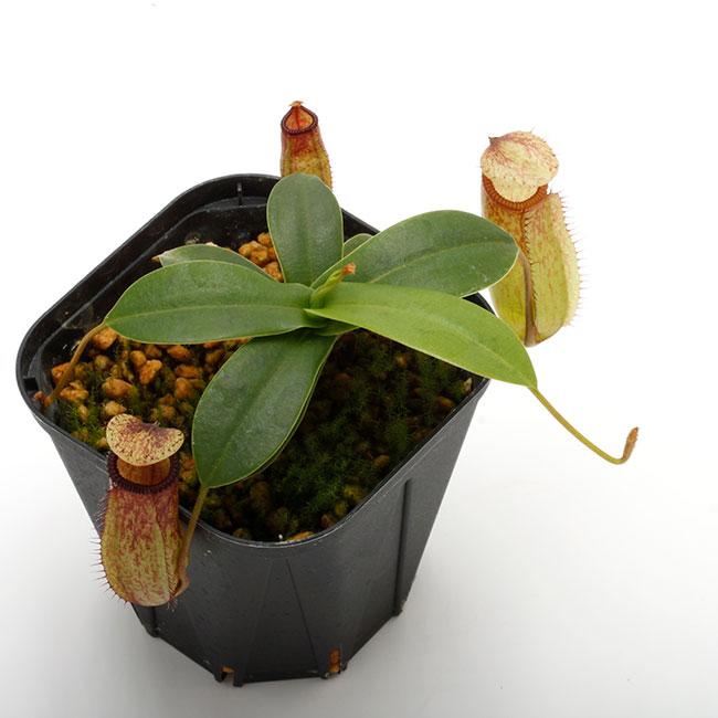 Nepenthes sibuyanensis x hamata [ ネペンテス・シブヤンエンシス×ハマタ ] 【 Borneo Exotics / BE-3562 】【 PN200205-29 】