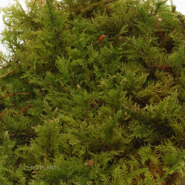 シノブゴケ 1パック 【 ビバリウム、パルダリウムに使いやすい植物 】