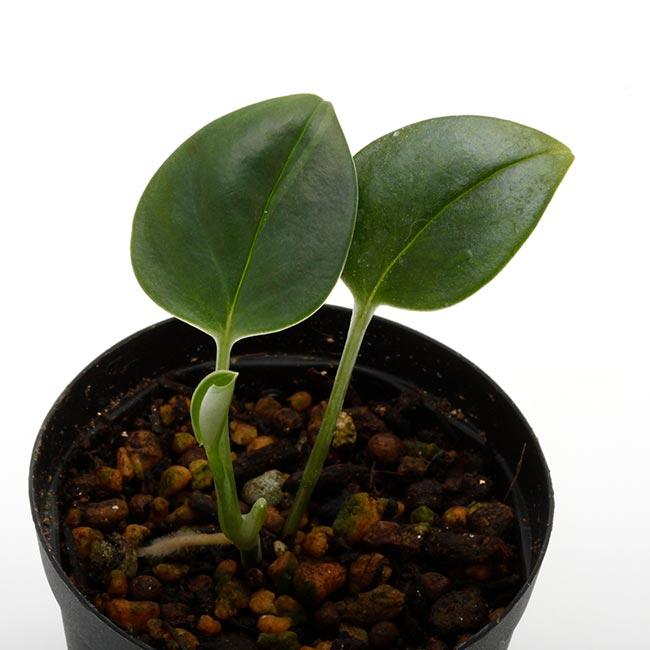 """Epipremnum sp. """" Colon, Panama """" [ エピプレナム sp. ] 1ポット 【 ビバリウム、パルダリウムに使いやすい植物 】"""