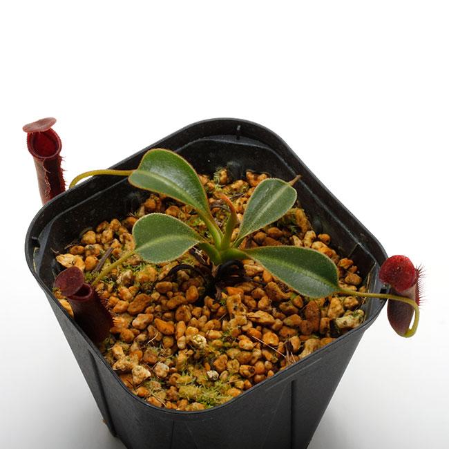 """Nepenthes lowii """"Gunung Trusmadi """"  [ ネペンテス・ローウィー ] 【 PN200722-03 】"""