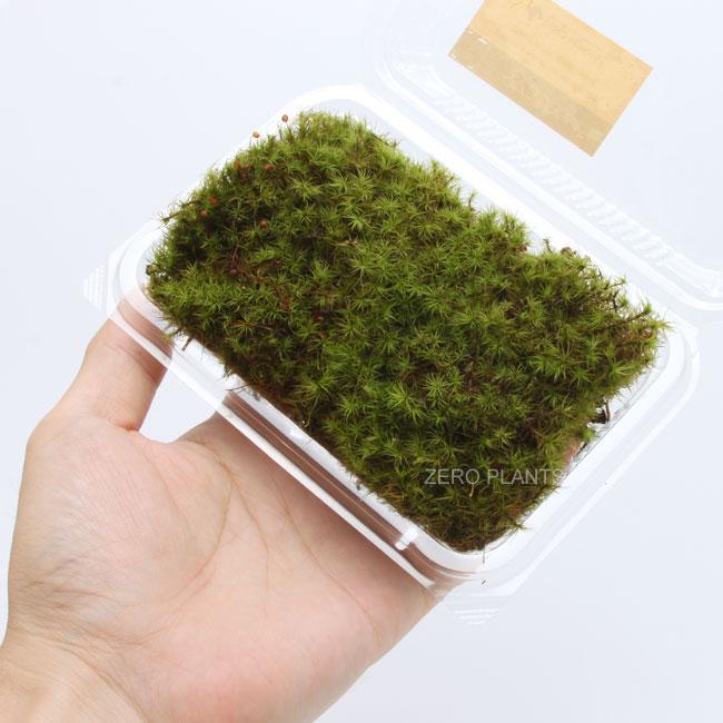 タマゴケ 1パック 【 ビバリウム、パルダリウムに使いやすい植物 】