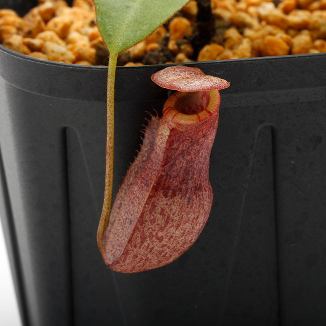 Nepenthes rajah x burbidgeae ( N. x ' alisputrana ' ) [ ネペンテス・ラジャ x バービッジアエ (N. アリサプトラナ ) ] 【 Borneo Exotics / BE-3865 】【 PN200205-06 】
