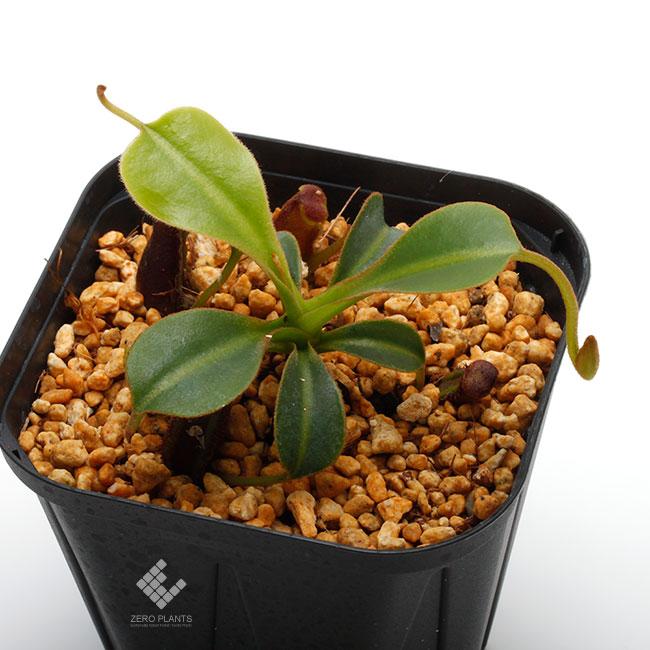 """Nepenthes lowii """"Gunung Murud """"  [ ネペンテス・ローウィー ] 【 PN190808-05 】"""