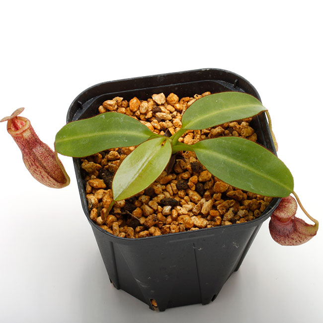 Nepenthes rajah x burbidgeae ( N. x ' alisputrana ' ) [ ネペンテス・ラジャ x バービッジアエ (N. アリサプトラナ ) ] 【 Borneo Exotics / BE-3865 】【 PN200205-05 】