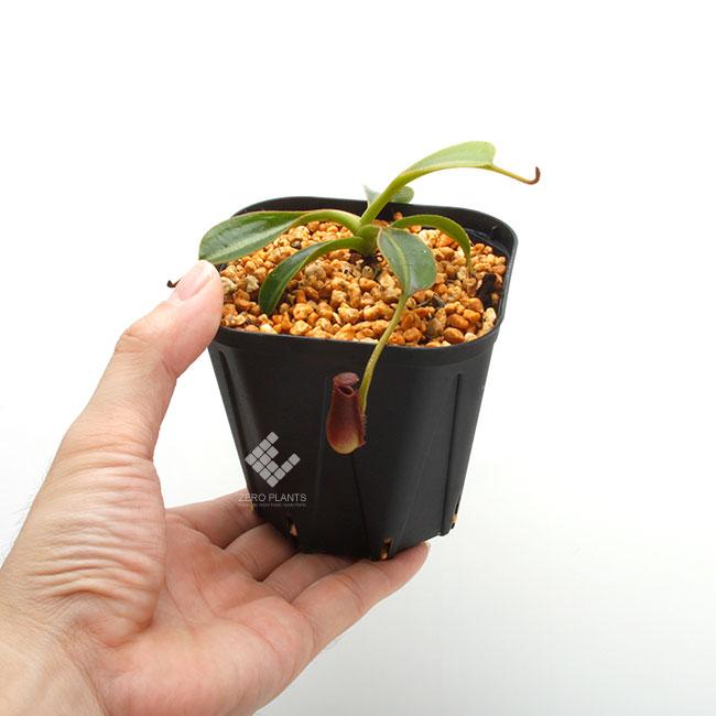 """Nepenthes lowii """"Gunung Trusmadi """"  [ ネペンテス・ローウィー ] 【 PN190808-07 】"""