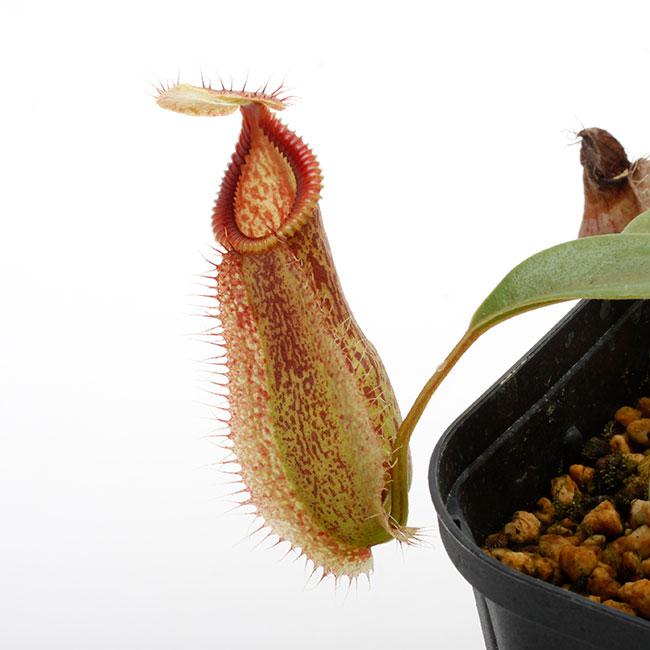 Nepenthes spathulata x hamata [ ネペンテス・スパスラタ×ハマタ ] 【 Borneo Exotics / BE-3793 】【 PN200205-22 】