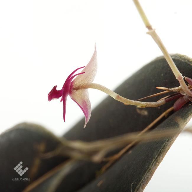Lepanthes meniscophora [ レパンテス・メニスコフォラ ] 【 PN1190930-03 】