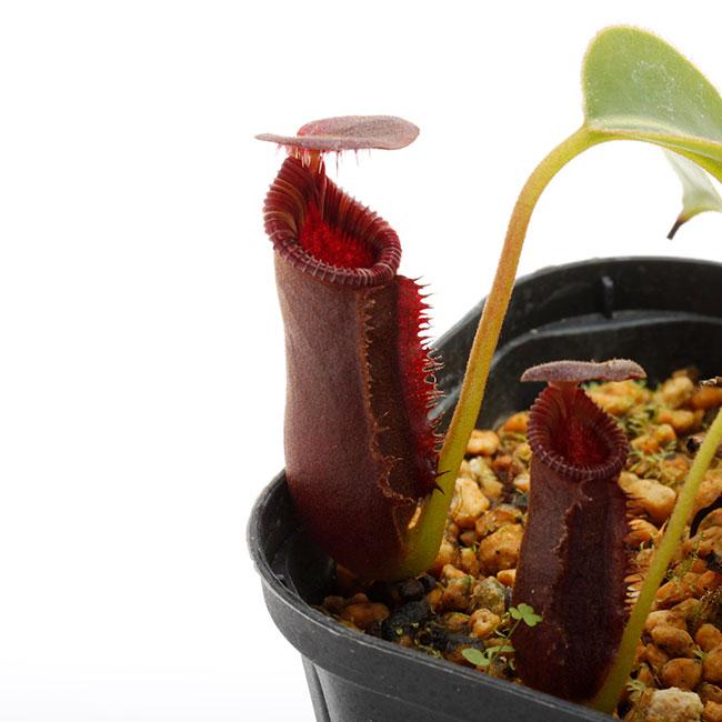 """Nepenthes lowii """"Gunung Murud """"  [ ネペンテス・ローウィー ] 【 PN200722-04 】"""