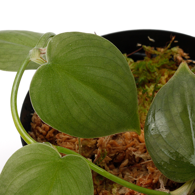 "Philodendron sp. "" Ecuador "" [ フィロデンドロン sp.・エクアドル産 ] 1ポット"