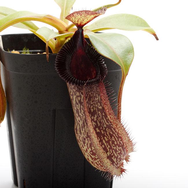 Nepenthes hamata x robcantleyi [ ネペンテス・ハマタ×ロブキャントレイ ] 【 Borneo Exotics / BE-3755 】【 PN200205-137 】