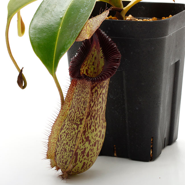 Nepenthes hamata x robcantleyi [ ネペンテス・ハマタ×ロブキャントレイ ] 【 Borneo Exotics / BE-3755 】【 PN200205-136 】