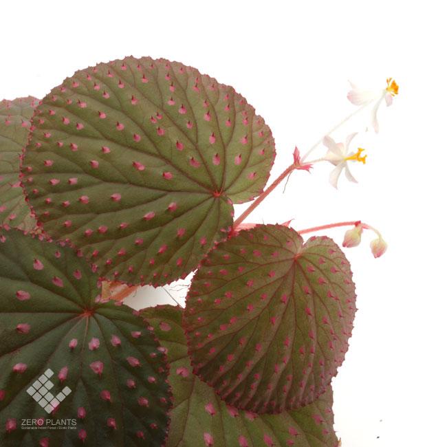Begonia ocellata [ ベゴニア・オケラータ ] 1ポット 【 特徴的な丸葉にピンクスポットと刺が映える美麗種 】