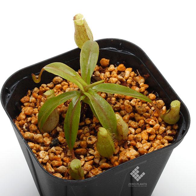 Nepenthes lavicola [ ネペンテス・ラビコラ ] 【 PN190808-13 】