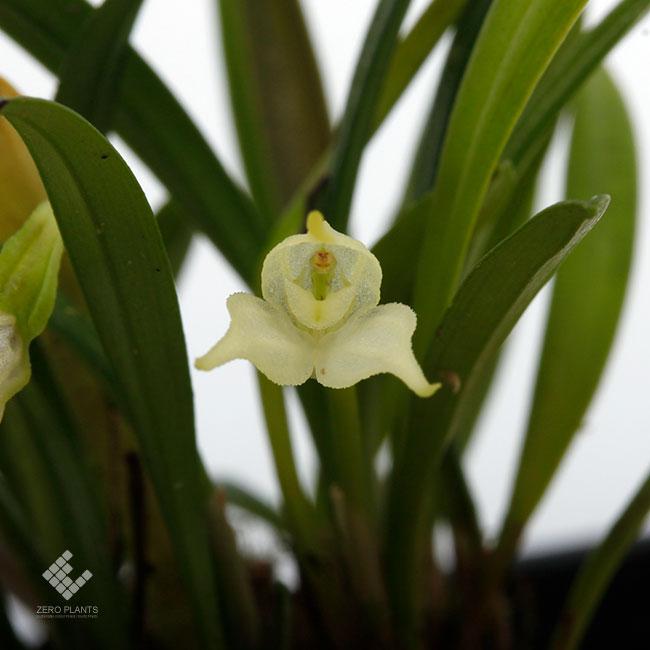 Diodonopsis pygmaea [ ディオドノプシス・ピグマエア ] 【 PN191004-02 】