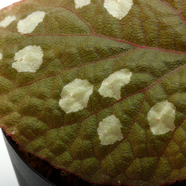 "Begonia sp. ""Tuyen Quang"" [ ベゴニア sp. ""トゥエンクアン"" ] 【 PN210215-02 】"