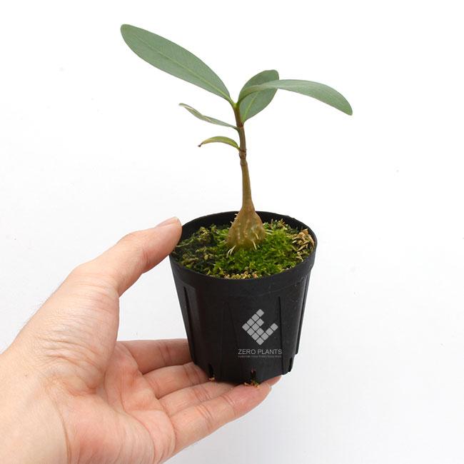 """Hydnophytum sp. """" Cameron Highlands """" [ ヒドノフィツム sp. """" キャメロンハイランド """"] 【 PN181108-06 】"""