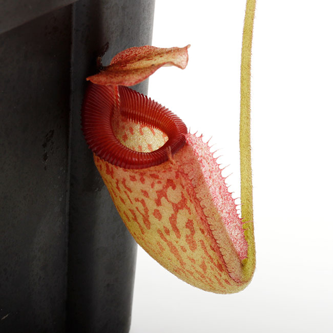 Nepenthes rajah x ( burbidgeae x edwardsiana )  [ ネペンテス・ラジャ×(バービッジアエ×エドワードシアナ) ] 【 Borneo Exotics / BE-3902 /  (Lot No: B1211) 】【 PN200722-05 】