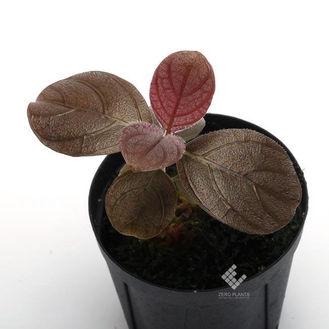 "Acanthaceae sp. "" Matang ""[ アカンサセアエ sp. ] 【 PN180219-14 】"