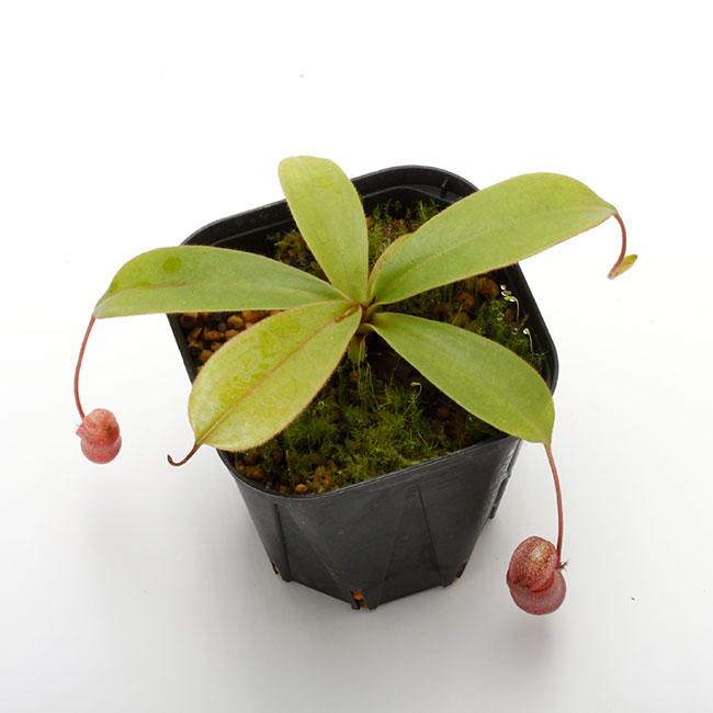 Nepenthes leonardoi  [ ネペンテス・レオナルドイ ] 【 PN200722-06 】