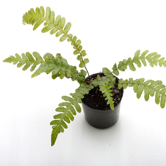 Blechnum neohollandicum [ ブレクナム・ネオホーランディカム ] 1ポット 【 ビバリウム、パルダリウムに使いやすい植物 】